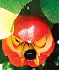 ackee-opened